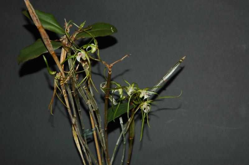 2018-08-01 Dendrobium tetragonum subsp. giganteum 4.JPG