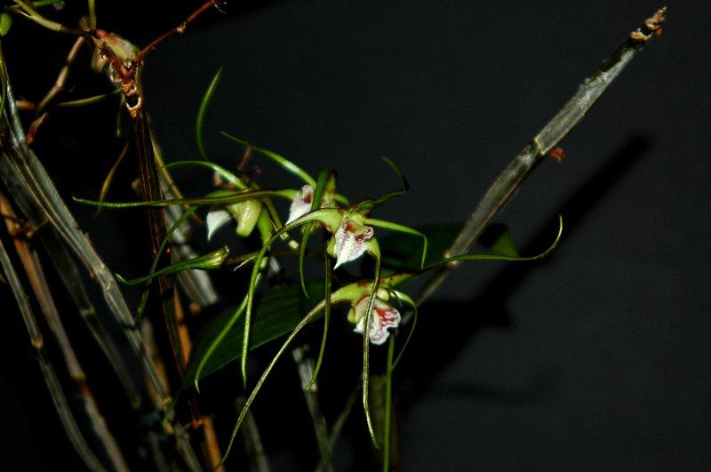 2018-08-01 Dendrobium tetragonum subsp. giganteum 5.JPG
