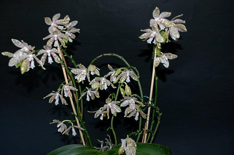 2018-08-01 Phalaenopsis hieroglyphica 24.JPG
