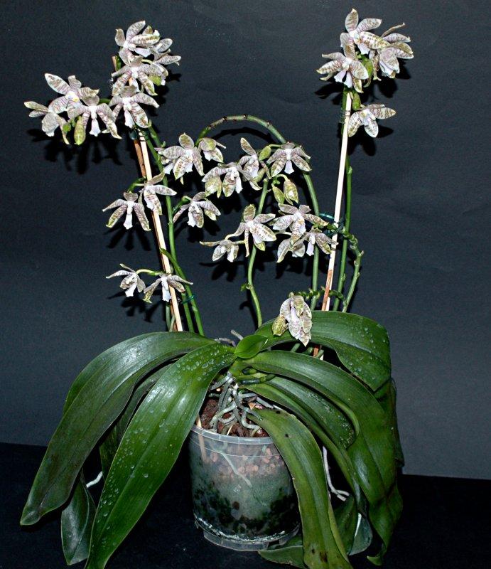 2018-08-01 Phalaenopsis hieroglyphica 26.JPG