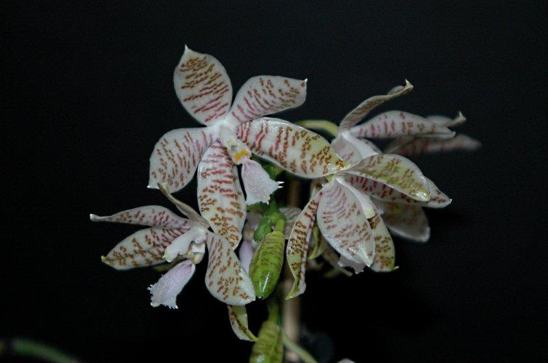 2018-08-01 Phalaenopsis hieroglyphica 28.JPG