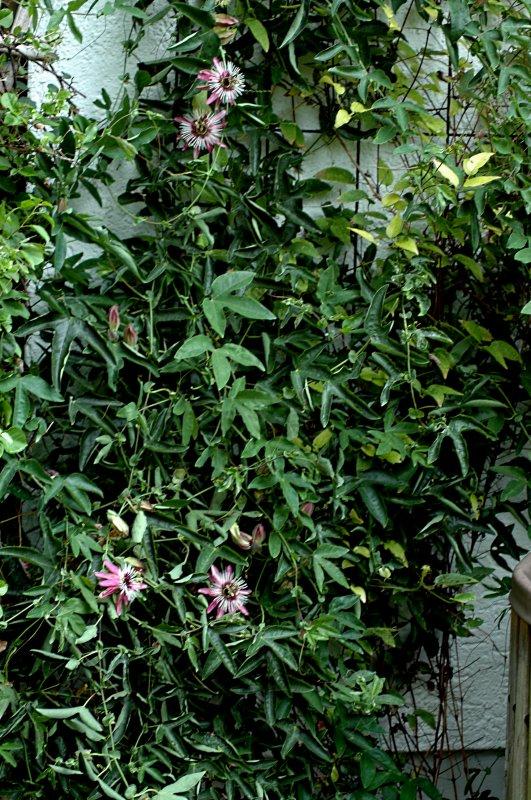 2018-08-10 Passiflora violacea 1.JPG