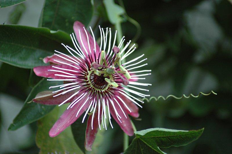 2018-08-10 Passiflora violacea 5.JPG