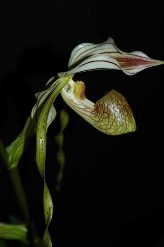 2018-12-09 Paphiopedilum kolopakingii (1) - Kopie.JPG