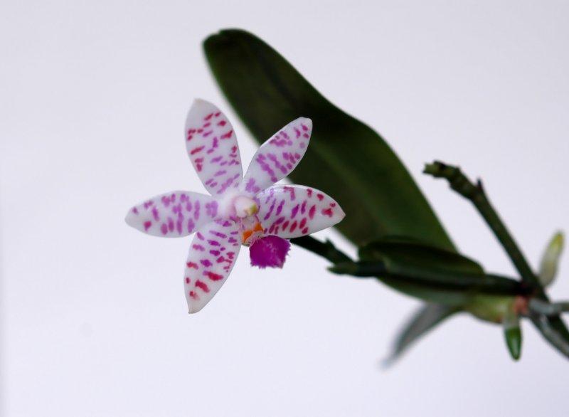 2019-01-01 Phalaenopsis lueddemanniana5.JPG