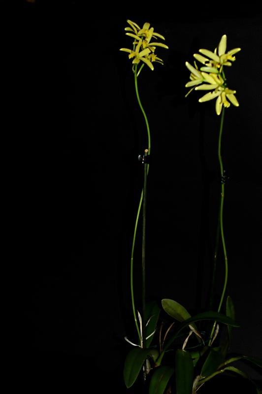 2019-02-11 Cattleya crispata (syn. Laelia flava) 7 - Kopie.JPG