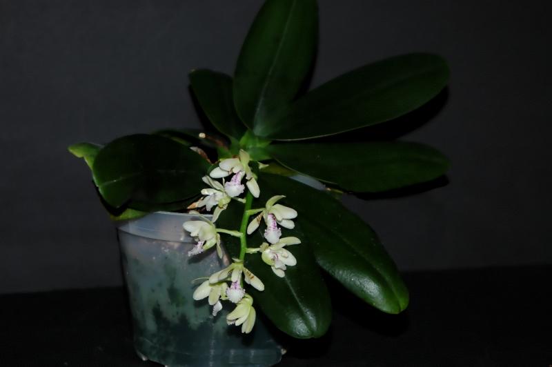 2019-02-11 Phalaenopsis (syn. Sedirea) japonica 12 - Kopie.JPG