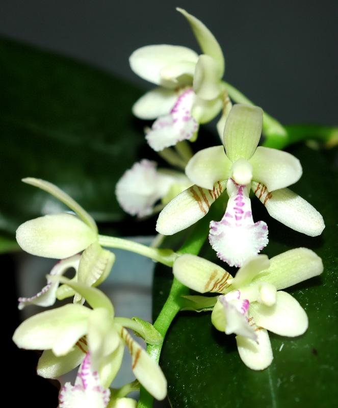 2019-02-11 Phalaenopsis (syn. Sedirea) japonica 17 - Kopie.JPG