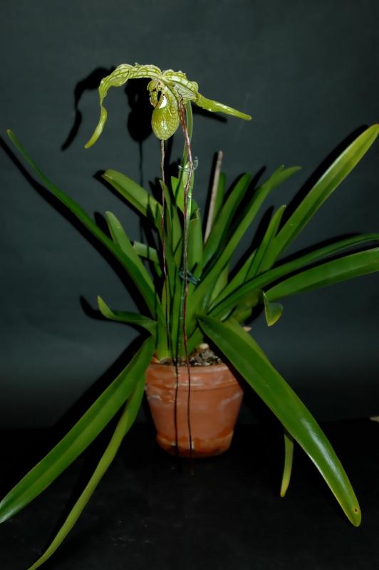2019-04-13 Phragmipedium caudatum 21 - Kopie.JPG