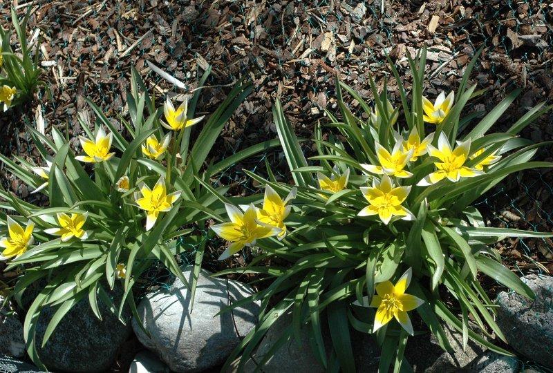 2019-04-19 Tulipa tarda 6.JPG