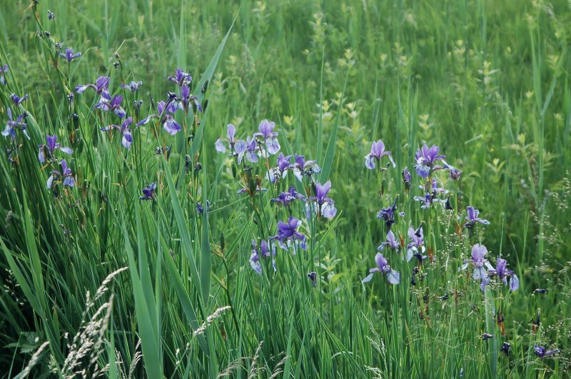 2019-06-17 Iris sibirica 2.JPG