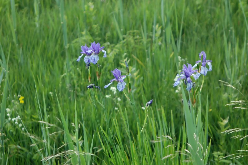 2019-06-17 Iris sibirica 3.JPG