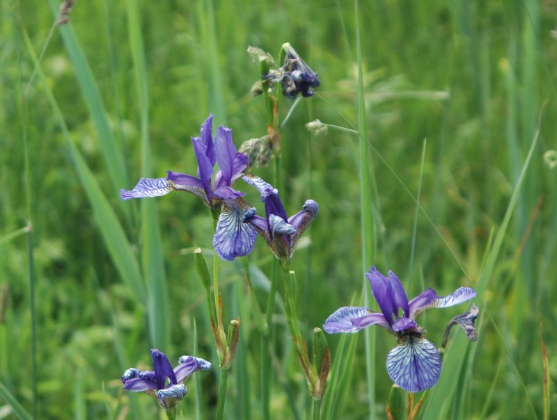 2019-06-17 Iris sibirica 5.JPG