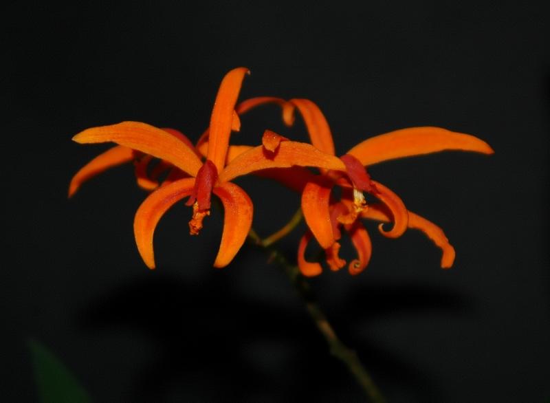 2019-06-22 Cattleya (syn. Laelia) cinnabarina 6 - Kopie.JPG