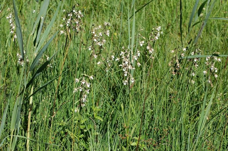 2019-07-04 Epipactis palustris im NSG 45 - Kopie.JPG