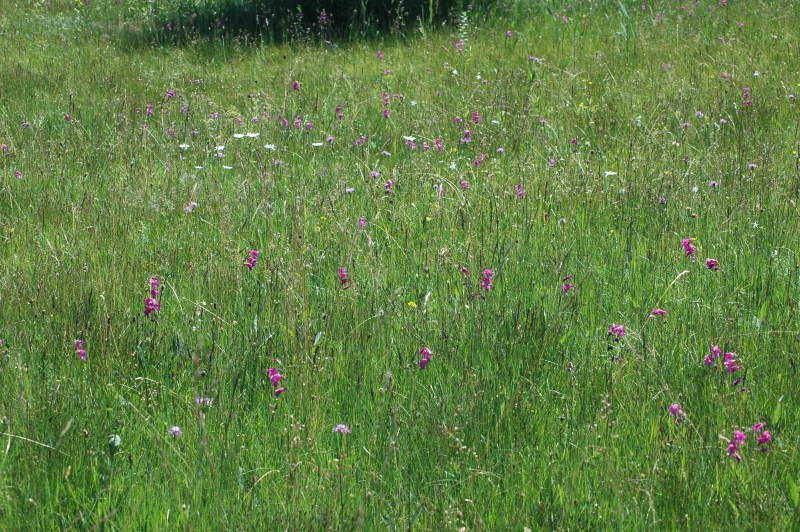 2019-07-04 Gladiolus palustris im NSG 12 - Kopie.JPG