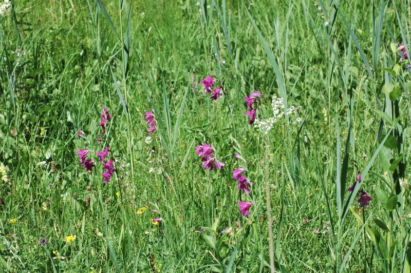 2019-07-04 Gladiolus palustris im NSG 23 - Kopie.JPG