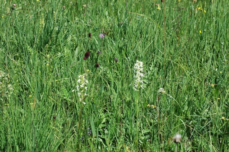 2019-07-04 Platanthera bifolia im NSG 11 - Kopie (2).JPG