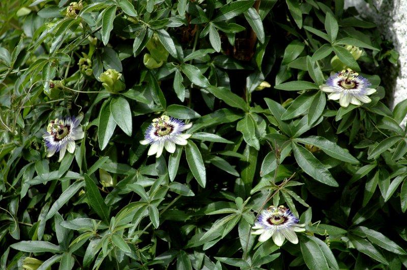 2019-07-06 Passiflora caerulea 3.JPG