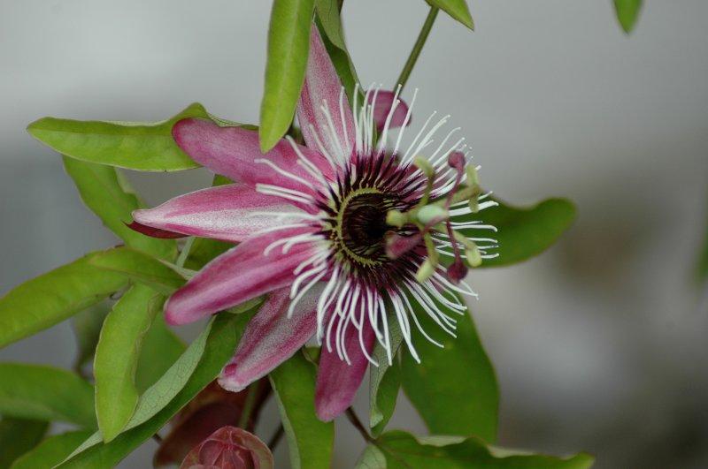 2019-07-06 Passiflora violacea 5.JPG