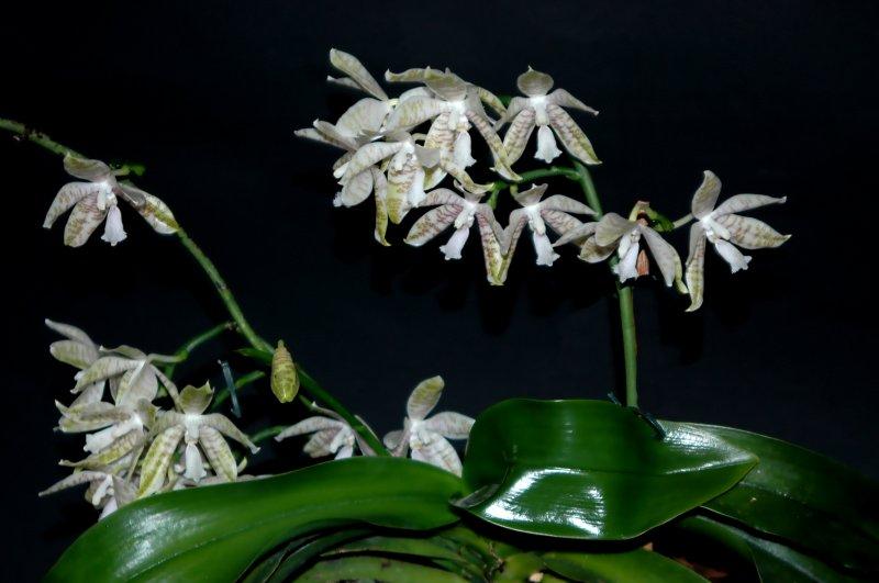 2019-07-27 Phalaenopsis hieroglyphica 10.JPG