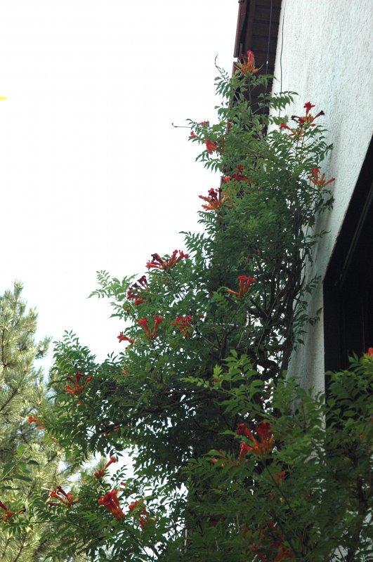 2019-08-02 Trompetenblume (Campsis radicans)10.JPG