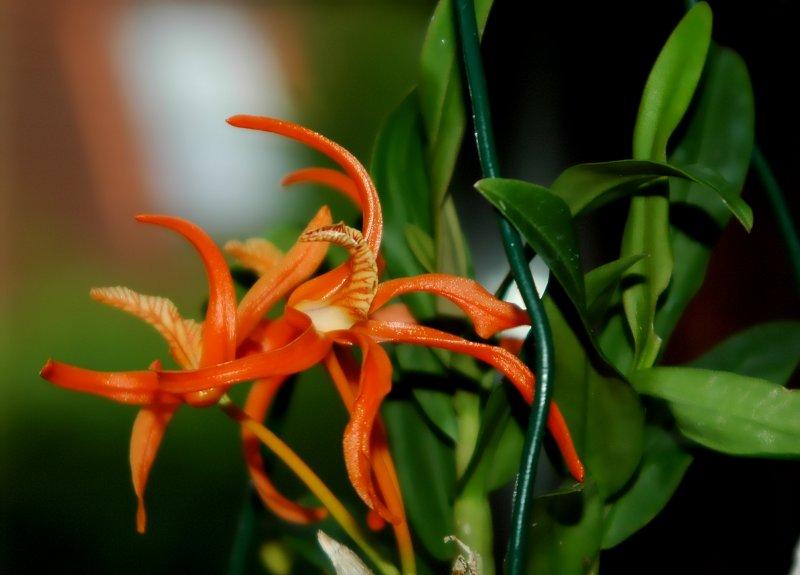 2019-08-06 Dendrobium lamyaiae 4.JPG