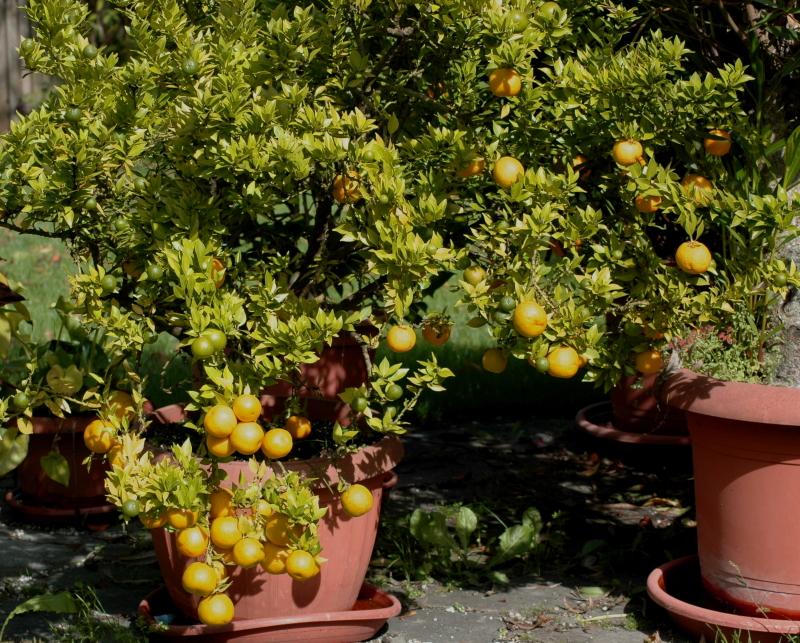 2019-09-10 Citrus myrtifolia 3 - Kopie.JPG