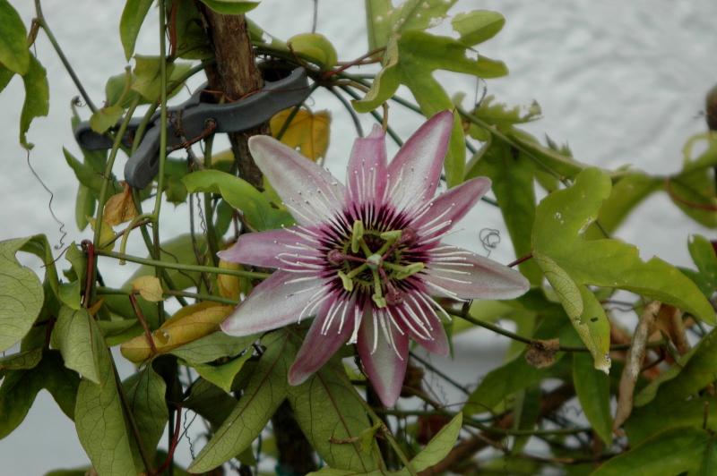 2019-09-30 Passiflora violacea 8 - Kopie.JPG
