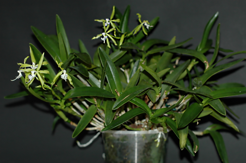 2019-11-08 Epidendrum ciliare 5 - Kopie.JPG