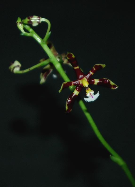 2020-01-19 Phalaenopsis mannii 'Mahagoni' 8 - Kopie.JPG
