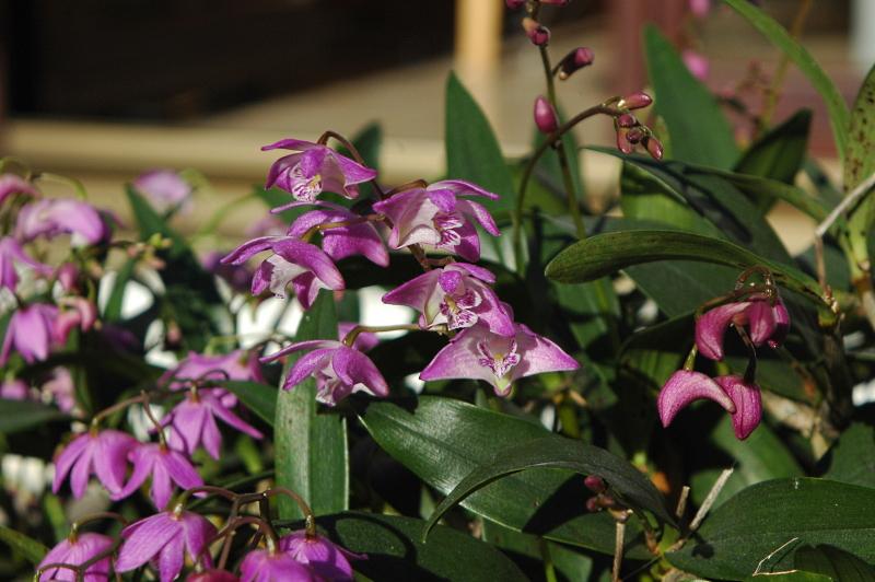 2020-02-07 Dendrobium kingianum 15 - Kopie.JPG