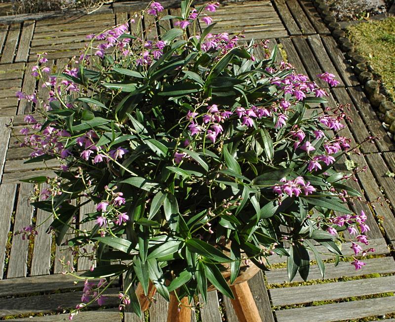 2020-02-07 Dendrobium kingianum 6 - Kopie.JPG