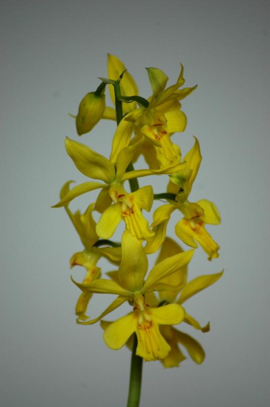 2020-03-07 Calanthe striata (syn. sieboldii)  3 - Kopie.JPG