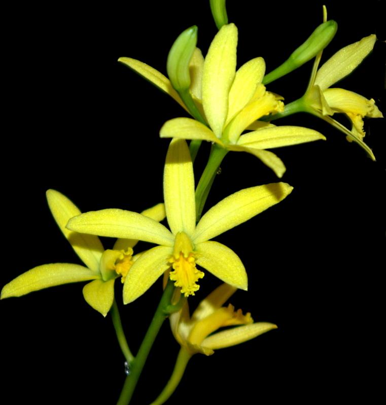 2020-03-22 Cattleya crispata (syn. Laelia flava) 8 - Kopie.JPG