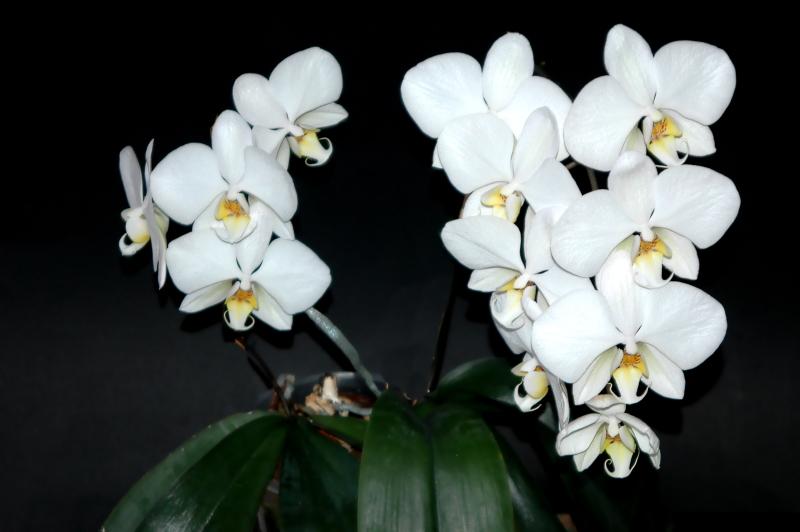 2020-03-22 Phalaenopsis Hybride 31 Jahre alt 28 - Kopie.JPG