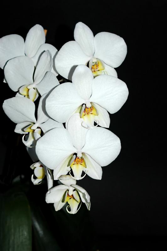 2020-03-22 Phalaenopsis Hybride 31 Jahre alt 33 - Kopie.JPG