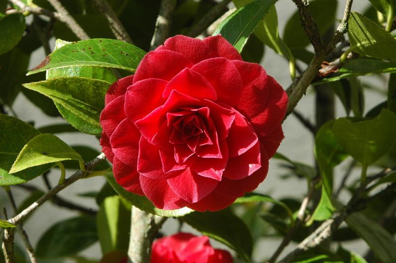 2020-03-27 Camellia japonica 4 - Kopie.JPG