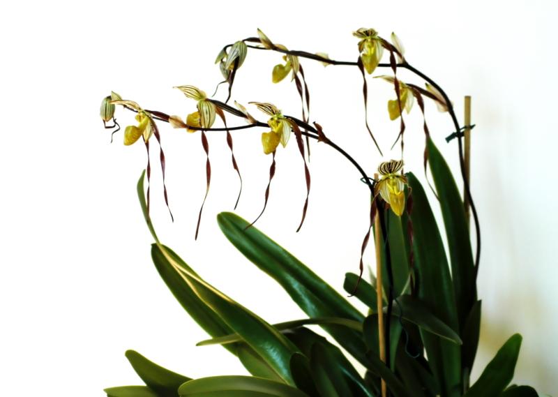 2020-04-05 Paphiopedilum philippinense var. roebelenii 13 - Kopie.JPG