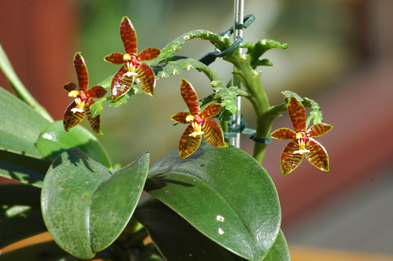 2020-04-05 Phalaenopsis cornu-cervi 'red' 1 - Kopie.JPG
