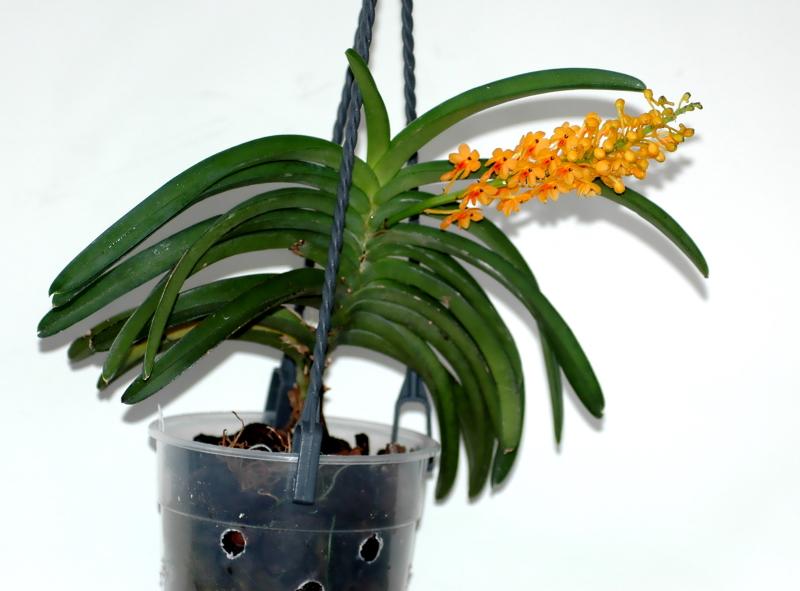 2020-05-05 Vanda(Syn.Ascocentrum) aurantiaca subsp. philippinense 10 - Kopie.JPG