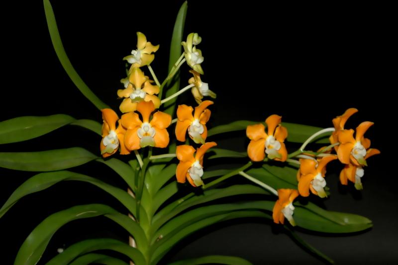 2020-05-22 Vanda denisoniana mit drei Blühtrieben 1 - Kopie.JPG