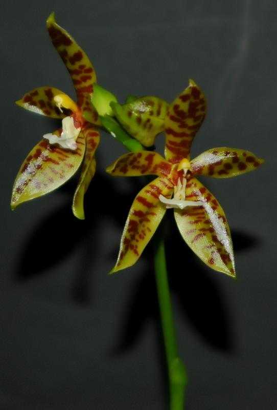 2020-07-02 Phalaenopsis als pantherina bekommen 1 - Kopie.JPG