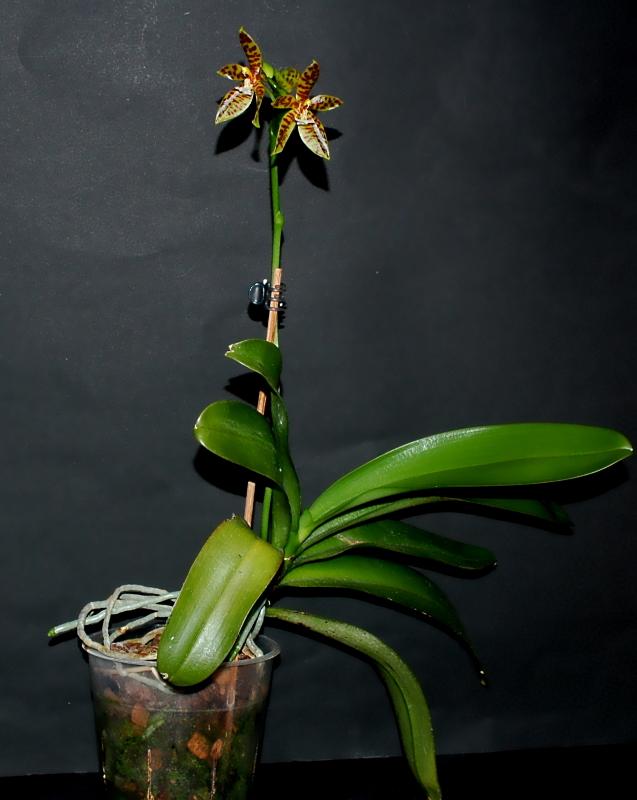 2020-07-02 Phalaenopsis als pantherina bekommen 4 - Kopie.JPG