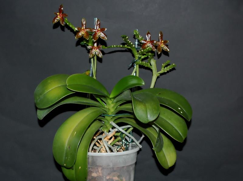 2020-07-02 Phalaenopsis cornu-cervi 'red' 10 - Kopie.JPG