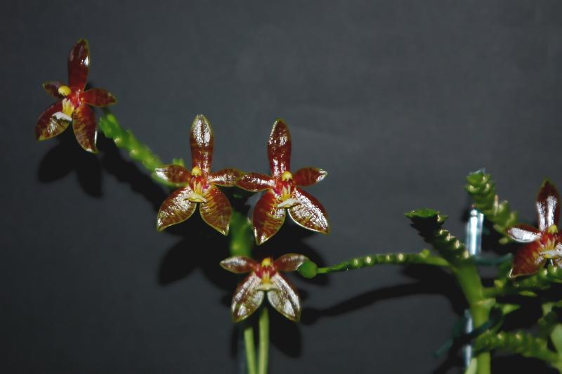 2020-07-02 Phalaenopsis cornu-cervi 'red' 13 - Kopie.JPG