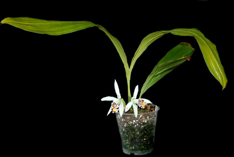 2020-10-11 Pleione maculata  1 - Kopie.JPG