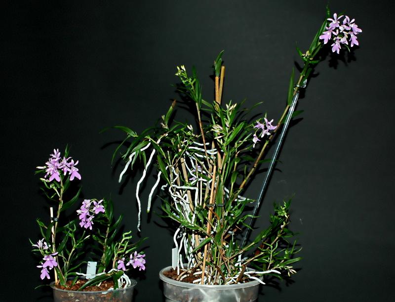 2021-01-06 Epidendrum centropetalum 4 - Kopie.JPG