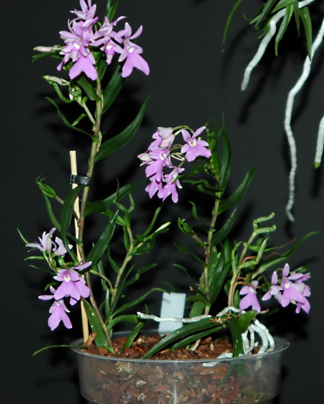 2021-01-06 Epidendrum centropetalum 5 - Kopie.JPG