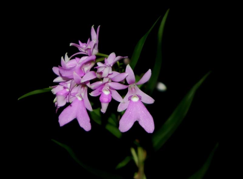 2021-01-06 Epidendrum centropetalum 6 - Kopie.JPG